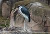 Marabou Storks - SF Zoo #9987