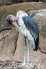 Marabou Storks - SF Zoo #0010