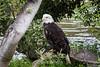 Bald Eagle #0154