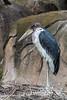Marabou Storks - SF Zoo #9993