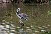 Brown Pelicans #0173