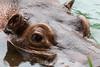 Hippopotamus - SF Zoo #0064