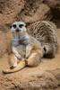 Meerkats - SF Zoo #0259