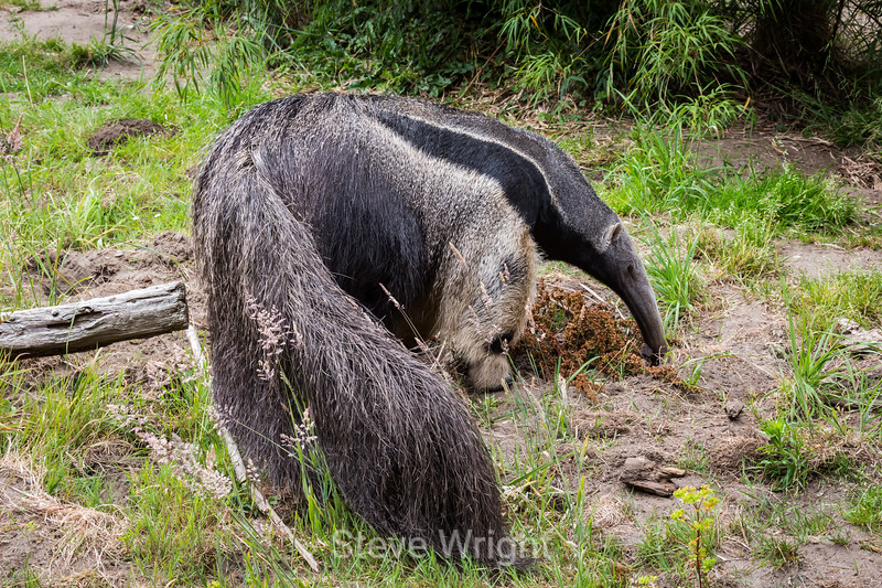 Anteater - SF Zoo #0126