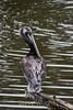 Brown Pelicans #0188