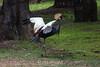 East African Crowned Crane - SF Zoo #0290