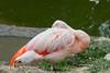 Flamingos #0237
