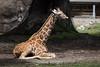 Giraffe - SF Zoo #0390