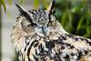 Eurasian Eagle Owl #4612