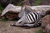 Zebras - SF Zoo #4244