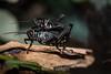 Horse Lubber Grasshopper - SF Zoo #4669