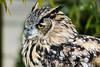 Eurasian Eagle Owl #4610