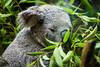 Koala - SF Zoo #4536