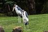 Marabou Storks #4253