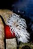 Anemone - Monterey Aquarium (55)
