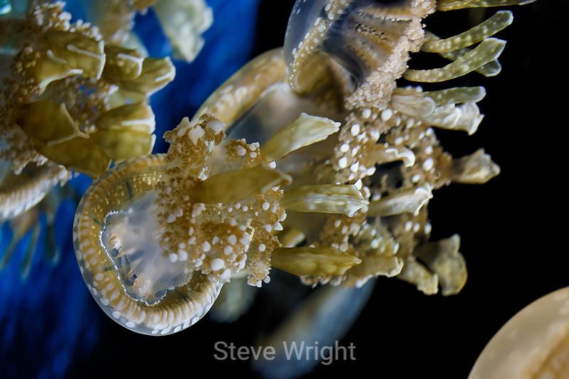 Spotted Jelly - Monterey Bay Aquarium (4)