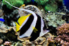 Butterfly Fish - Monterey Bay Aquarium (1)