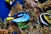 Blue Tang & Butterfly Fish - Monterey Bay Aquarium (1)