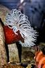 Anemone - Monterey Aquarium (54)