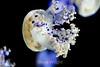 Mediterranean Jellies - Monterey Bay Aquarium (9)