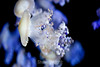 Mediterranean Jellies - Monterey Bay Aquarium (8)