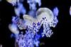 Mediterranean Jellies - Monterey Bay Aquarium (5)