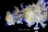 Mediterranean Jellies - Monterey Bay Aquarium (2)