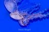 Jellyfish - Monterey Aquarium (44) D
