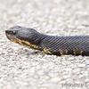 Cottonmouth <br /> Mingo National Wildlife Refuge