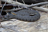 Northern Water snake<br /> Ripley County, Missouri