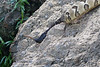 Timber Rattlesnake crossing the Current River <br /> Ripley County, Missouri