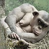 """Cinder the Hairless Chimp<br> To learn more about her <a  href=""""http://www.stlzoo.org/yourvisit/thingstoseeanddo/thewild/fragileforest/whoswhoinourchimpanzeefami/cinder/"""" target=""""_blank""""> Click here</a>"""