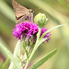 ? Skipper<br /> Jim Ziebol Butterfly Garden