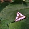 Leconte's Haploa Moth -- Haploa lecontei
