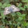 Common Checkered Skipper?