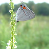 Gray Hairstreak<br /> Mallard lake<br /> Creve Couer