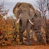 Elephant and Mopani