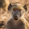 Teenage Baboon