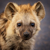 The Cuteness of a Hyena
