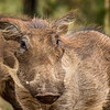 Hairy Hog