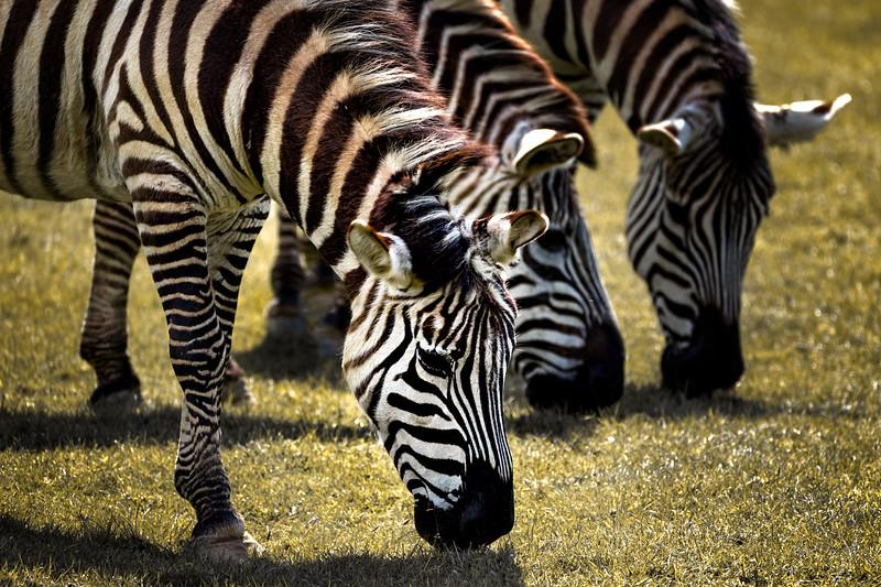 Triple Stripes