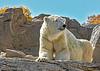 Polar Bear, wondering where all the ice went.