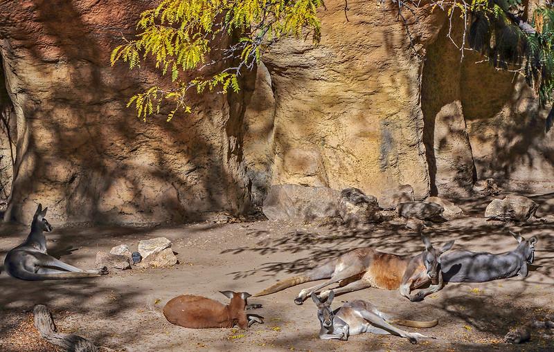 Kangaroos taking it easy.