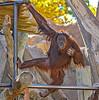 Orangutan making his way to the ground.