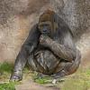 Gorilla having a snack.