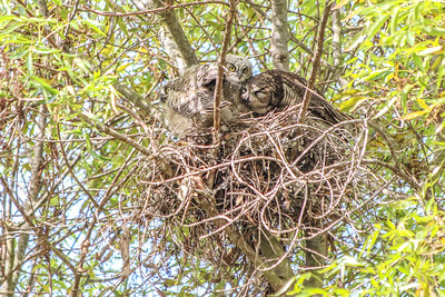 A great horned owl nuzzles her baby, nesting in Cardiff.