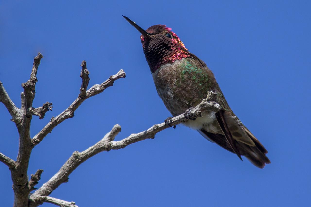 Anna's hummingbird on the La Jolla Coast Walk Trail.