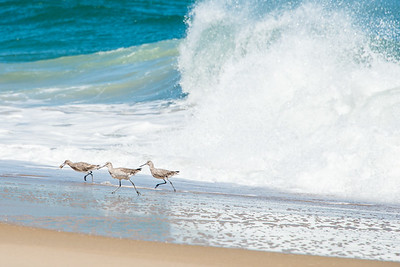 Sand Pipers Being Chased by a Wave