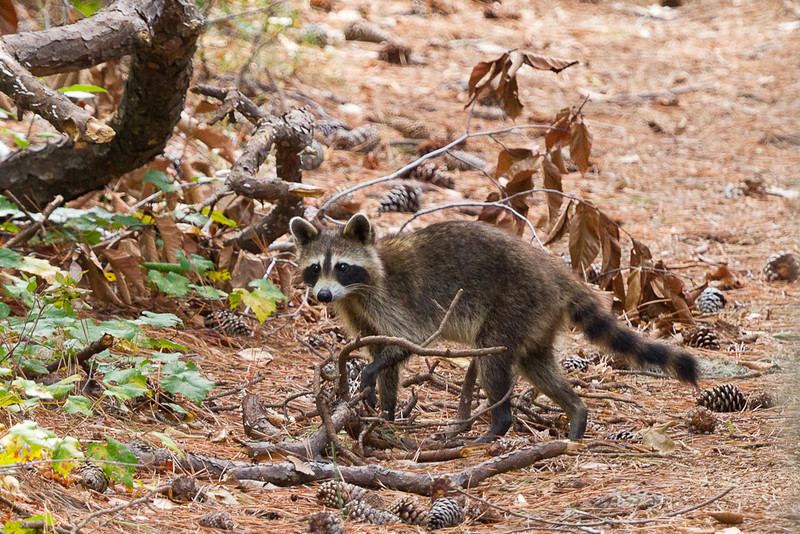 A raccoon near a hiking trail in First Landing State Park, VA.