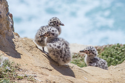 California gull chicks by La Jolla Cove.